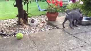 Blue Staffordshire Bull Terrier Puppy Playing - 8 Weeks Old