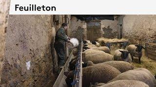 Indre : portraits d'agriculteurs avant le Salon de l'agriculture : les moutons Suffolk