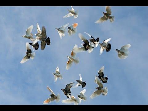 birmingham roller pigeons rolling 03459442750 zain ali. Black Bedroom Furniture Sets. Home Design Ideas