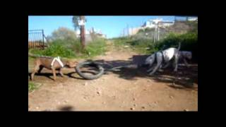 X-TREME DOGS WORKING TEAM  dogo vs pitbulls  tug of war