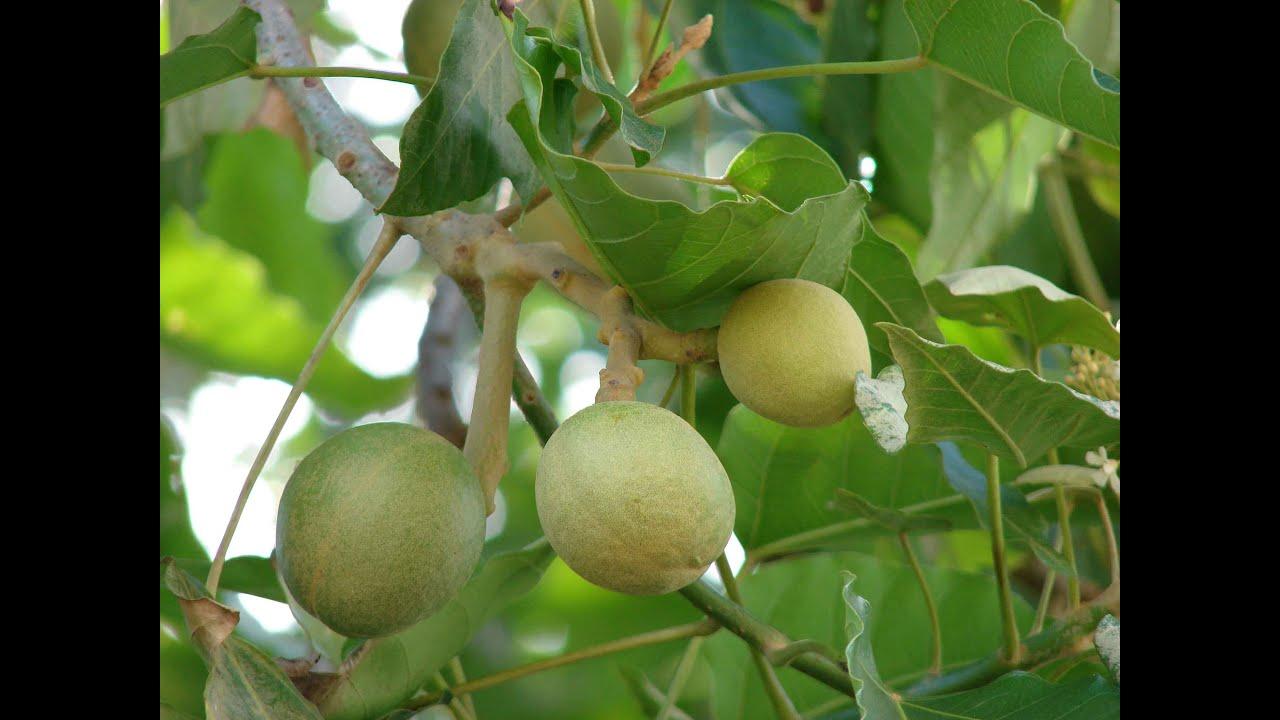 Fruit Trees Virginia Beach