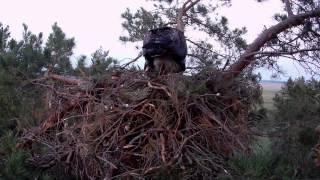 ульяновска область орёл-могильник