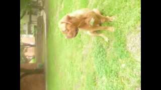 Dogue De Bordeaux  (french Mastiff) Kyzer  Female Attack!!!!
