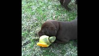 5 Week Old Lab Puppies First Time Outside