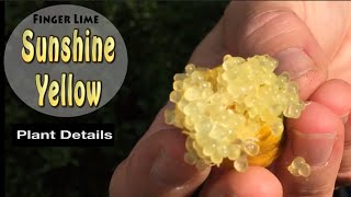 Sunshine Yellow Grafted Finger Lime Fruit Tree in Australia