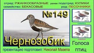 Чернозобик. Голоса птиц