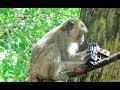 Adult Monkey Got Children Gun, Mr Rain Cry BC Can't Climb Big Tree