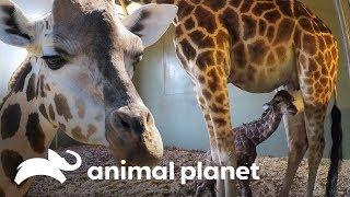 O incrível parto de uma bebê girafa | A Família Irwin | Animal Planet Brasil