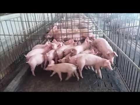 Bio Gas from Pig Farm in West Bali