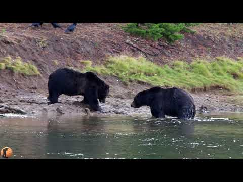 Grizzlies Fighting Over Elk Carcass Yellowstone National Park 9.26.20