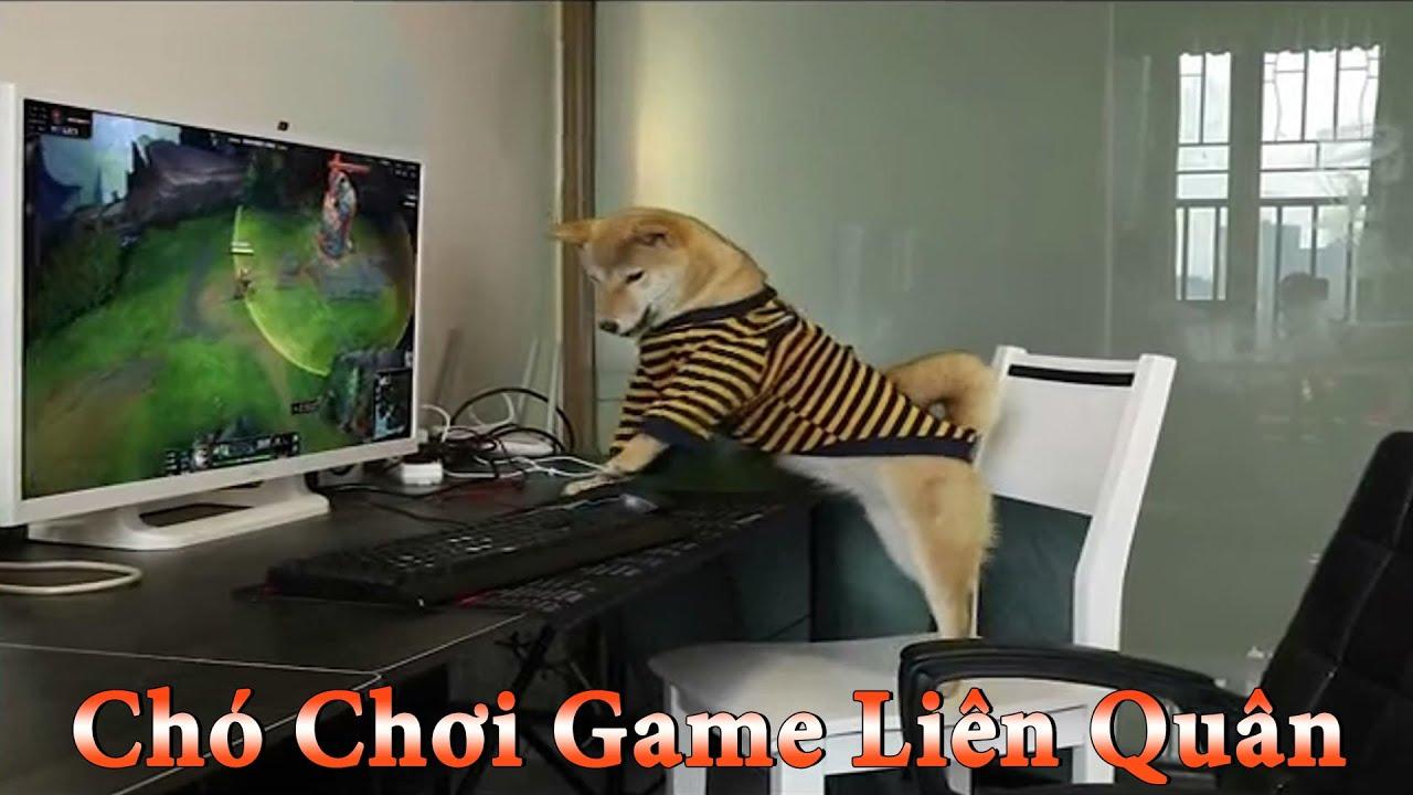 Thú Cưng TV   Dương KC Pets   Ken Trẻ Trâu Bướng Bỉnh #2   chó Shiba vui nhộn   funny cute smart dog