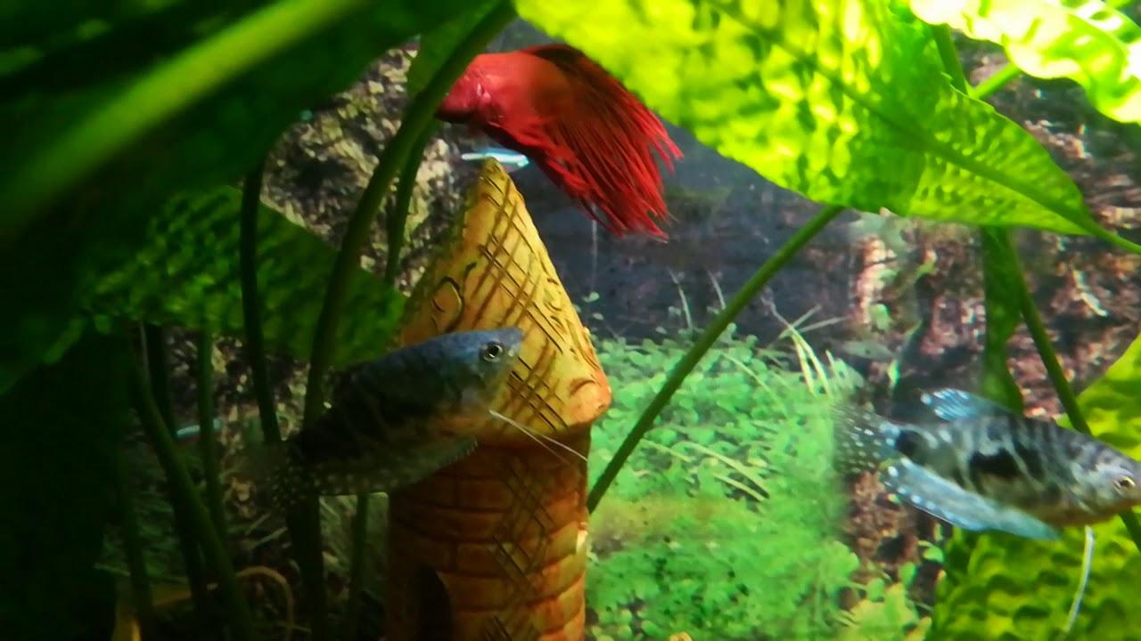 Рыбка Петушок в аквариуме#аквариум#гурами - YouTube