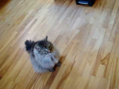 Maine coon: Stop ignoring me!