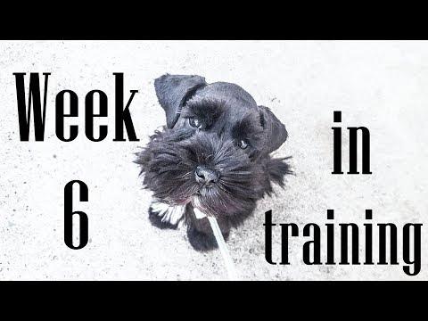 Cody The Miniature Schnauzer - Week 6 of Training