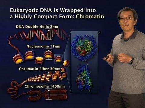 Robert Tjian (Berkeley/HHMI) Part 2: Gene regulation: Why so complex?