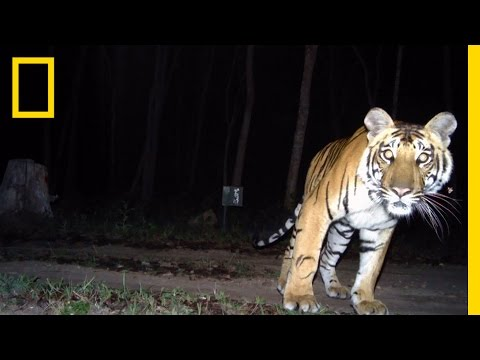 """Camera Traps """"Capture"""" Elusive Tigers   National Geographic"""