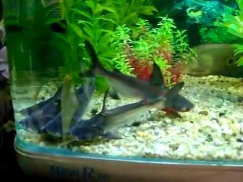 Tiburones youtube for Peces de agua dulce para peceras