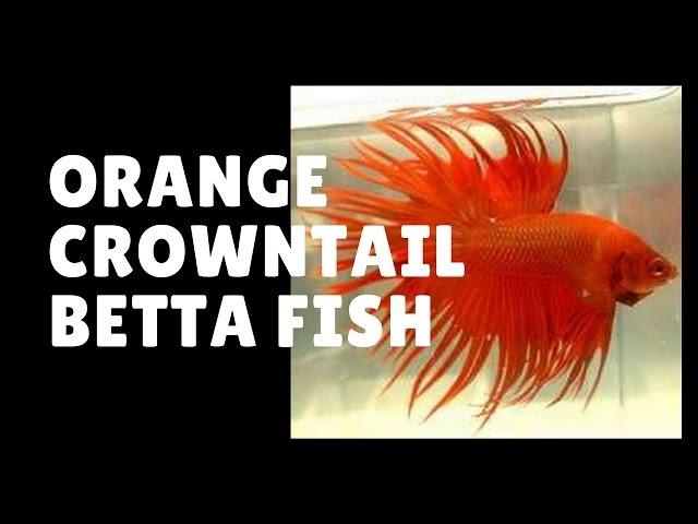 orange crown tail betta fish
