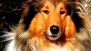 Порода собак. Колли длинношерстный. Элегантная собака с прекрасным окрасом.
