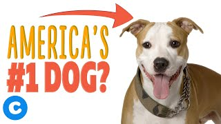 7 Interesting Facts About Pit Bulls