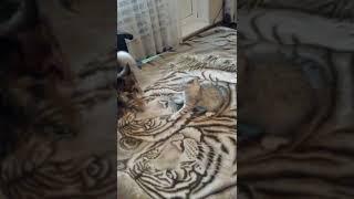 Прикол коты и собаки. Смешные коты и собаки. Кошка не дает собаке поспать.