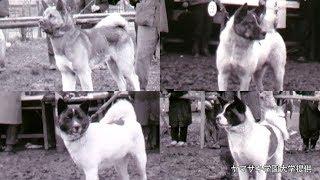 茶色い体に白い顔、そんなイメージとはだいぶ異なる約60年前の秋田犬...