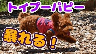 トイプーの子犬が来て楽しく遊んだよ! □□□□ 看板犬ワンパチャンネル □□...