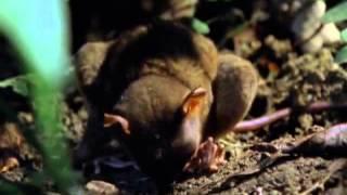 Pure Nature Specials  - Tarsier Primate  The Littlest Alien - Documentary films thumbnail