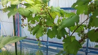 定植後3年経たないと収穫できない言われるワインブドウを2年で収穫でき...
