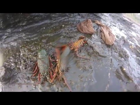 South Coast Eastern Rock Lobsters - Jervis Bay