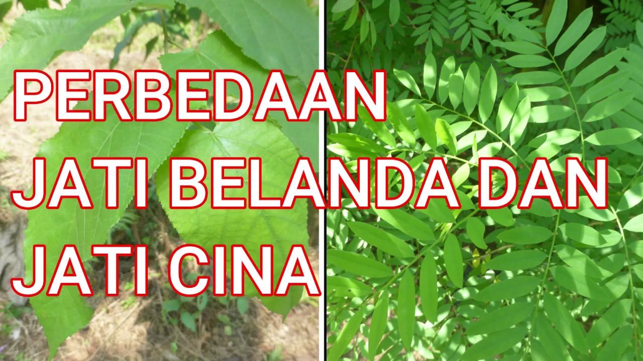 Perbedaan Jati Belanda Dan Jati Cina Youtube Gambar pohon jati belanda