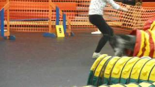 German Shorthaired Pointer Miko In Agility