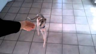 "Good Italian Greyhound Named ""pumice"" Performs The Best Dog Tricks! New"