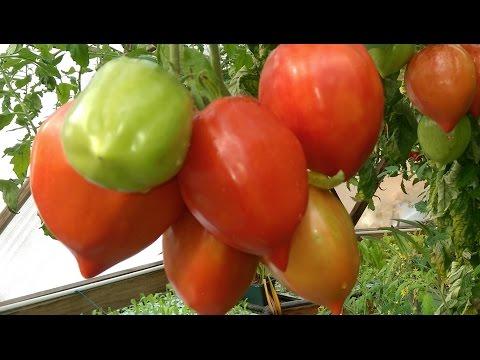 Aquaponic DWC Tomatoes – Part 1