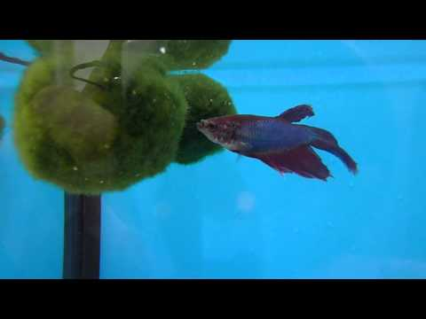 Betta Fish and Marimo