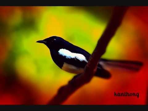 Suara Burung Kacer belajar bunyi