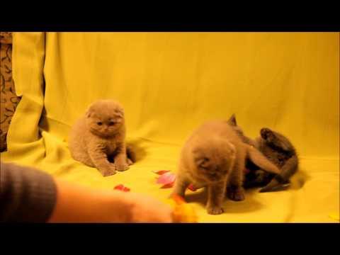 Шотландские котята лилового и голубого окрасов. Продажа!  www.grey-cats.ru 8(926)993-70-25