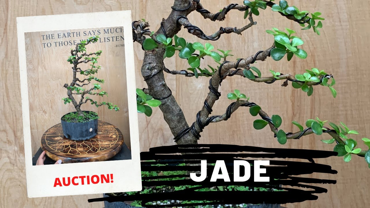 Styling A Jade Bonsai At The Bonsai Supply Auction 4 Youtube