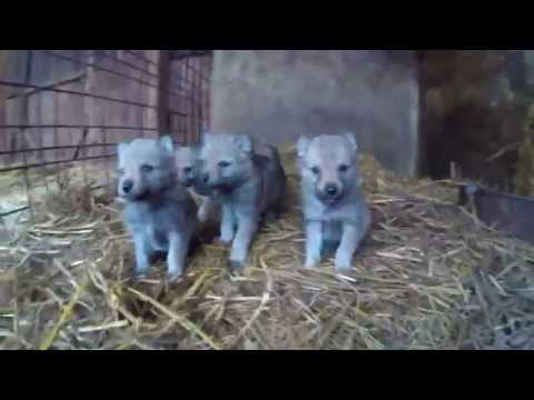 czechoslovakian wolfdog puppies HD