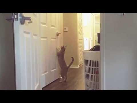 Ocicat learns to open door