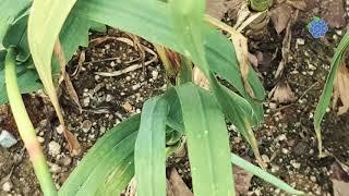 마늘종 뽑기 체험 / 연천 임진여울영농조합법인 / 연천…