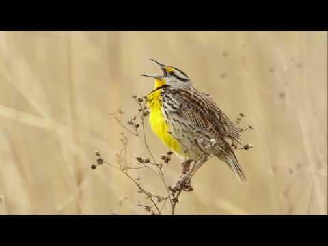 Eastern Meadowlark Portait