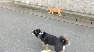 ???? ???????? Shiba Inu Kuro walk With Cat