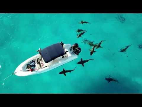 Tiger Sharks At