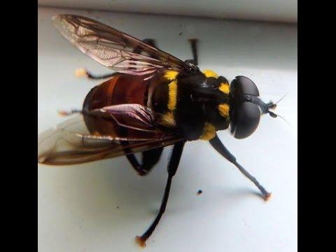 Mosca Gigante de las Flores (Meromacrus pinguis) Giant Flower Fly