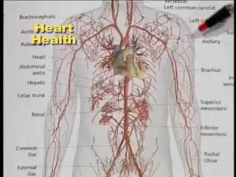 Heart and Circulation Health Part 1
