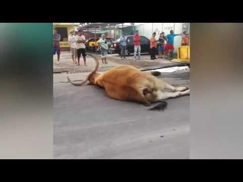 Conductor atropella y mata a boyero y a sus animales en Liberia