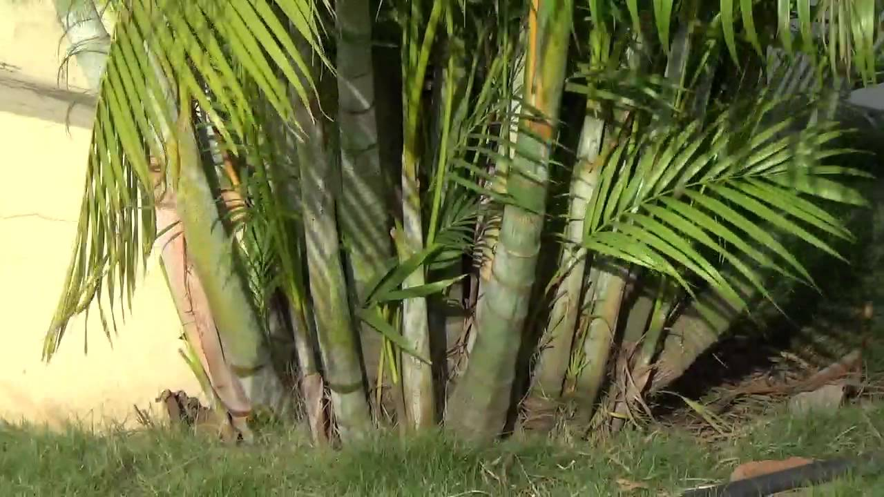 Tree Bamboo Palm Or Dypsis Lutescens Or Golden Cane Palm Or