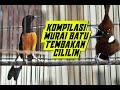 Kompilasi Murai Batu Tembakan Cililin Bikin Langsung Nyaut Tambah Gacor  Mp3 - Mp4 Download