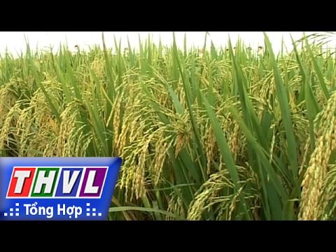 THVL | Chào Buổi Sáng: Hai Giống Lúa đem Lại Năng Suất Và Chất Lượng Cao Cho Ngành Lúa Gạo Việt Nam